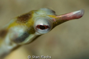 pipefish by Stan Flachs 